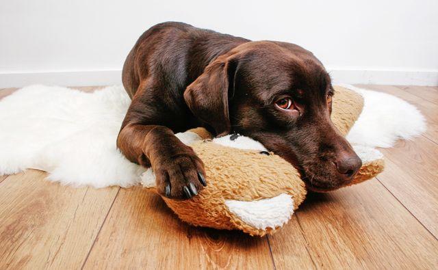 Пес лежит на подушке