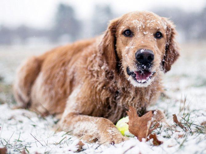 Пес много пьет воды зимой - почему?