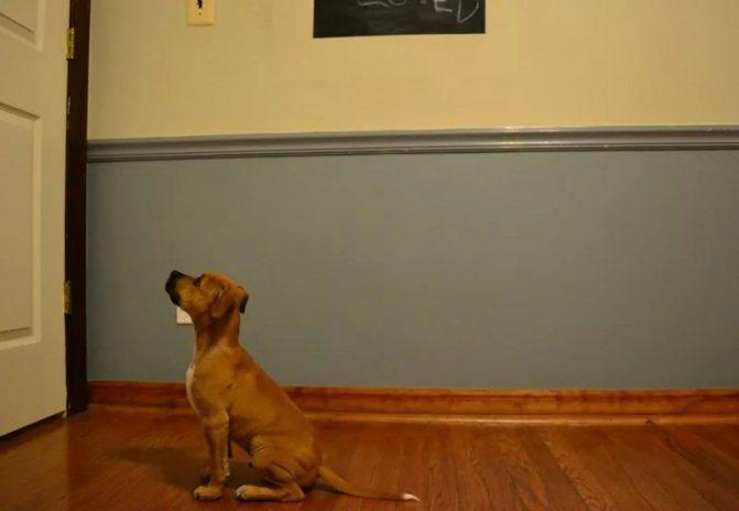 Пес просится на улицу