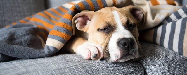 Пес спит под одеялом