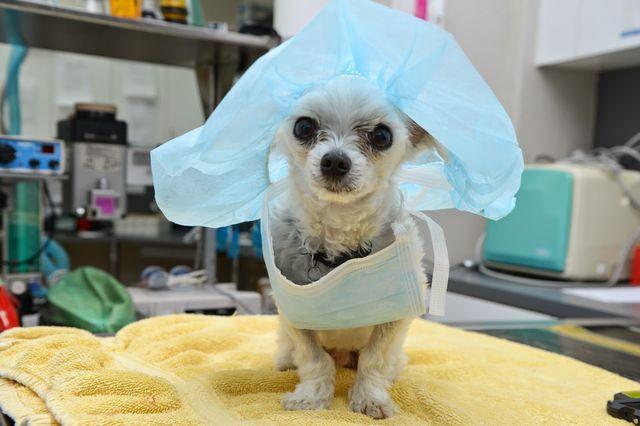 Пес в шапочке хирурга