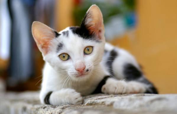 Пиодермия у кошек фото