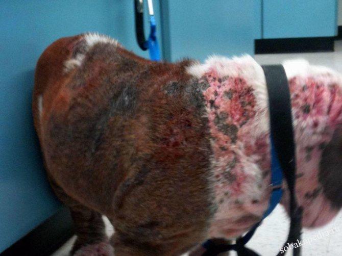 Пиодермия у собак: как распознать заболевание