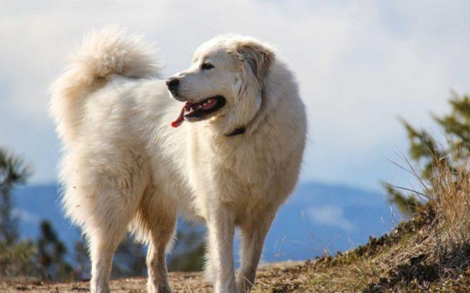 пиренейская горная собака охранник