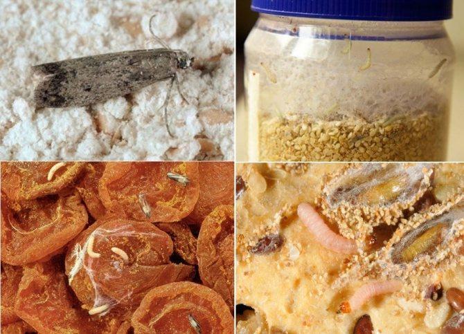 Пищевая моль в продуктах