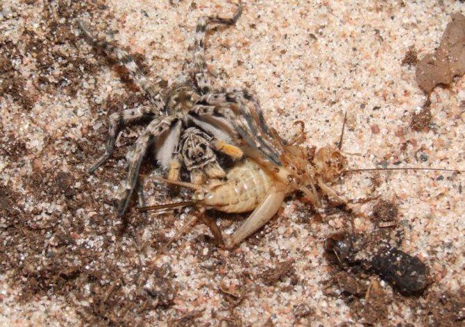Питание тарантула