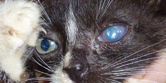 Пленка на глазах у кошек