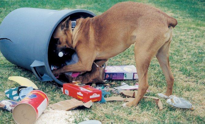 Плохая привычка собаки рыться в мусоре