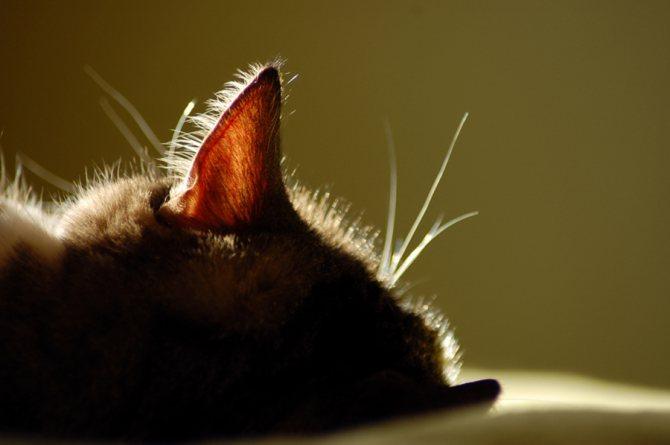 плохой запах из ушей у кошек