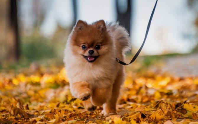 Плюсы и минусы породы шпиц: характеристика и описание характера собак породы шпиц. Какие у породы достоинства и недостатки? Отзывы владельцев