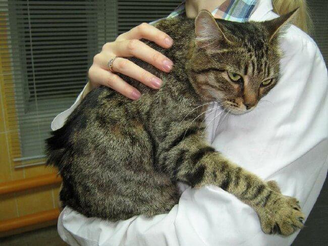 Почечная недостаточность у кошек, пиелонефрит и гломерулонефрит: Болезни почек у котов