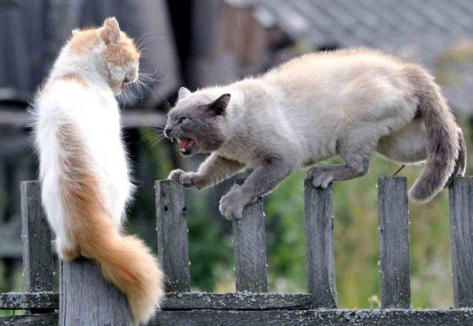 Почему дерутся коты