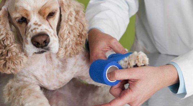 Почему хромает собака и как лечить