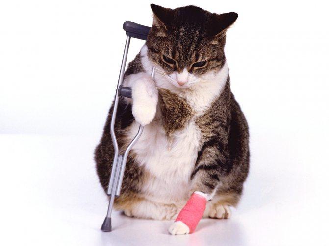 Почему кошка хромает на заднюю лапу без видимых повреждений что делать