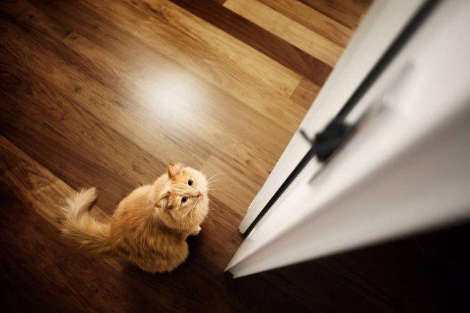 Почему кошка просит открыть дверь, но не заходит. Причины и объяснения