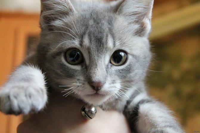 Почему ломаются усы у котенка? Почему так происходит и как ему помочь?