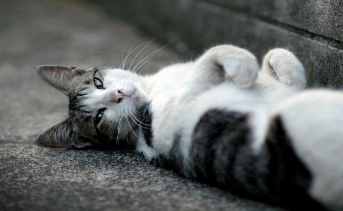 Почему наши кошки любят лежать на спине?