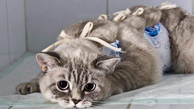 Почему не рекомендуют стерилизовать кошку во время течки