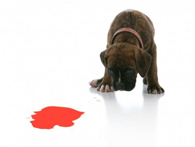 Почему собака писает с кровью