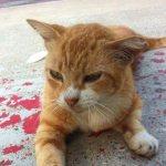 Почему у кошки идет кровь из переднего прохода: первая помощь питомцу