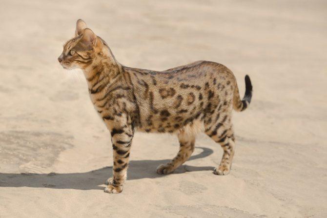 Почему у кошки мокро под хвостом