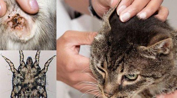 Почему у кошки пахнет из ушей?
