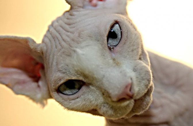 Почему у кота ломаются усы