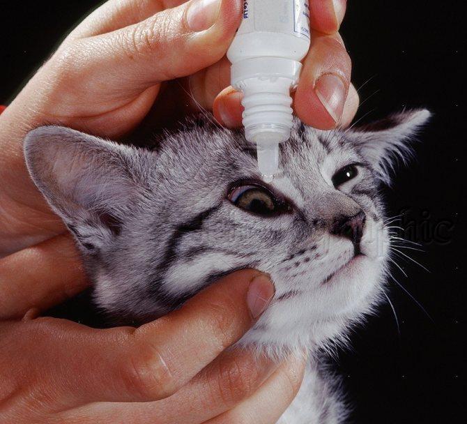 Почему у котенка гноятся глаза