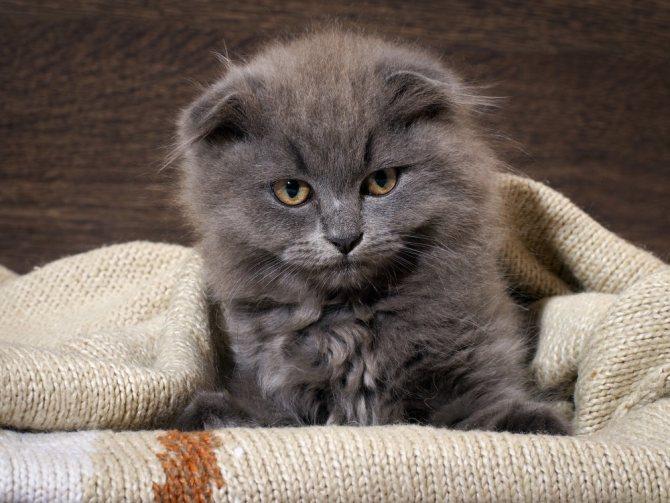 Почему у котенка ломаются усы - причины и что делать