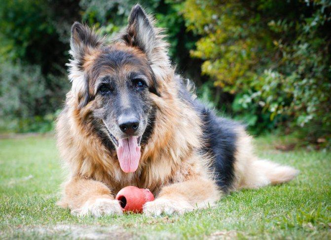 Под пристальным наблюдением должны находится пожилые собаки, у которых риск появления гнойников повышается