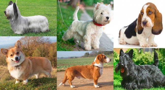 Подборка коротколапых собак