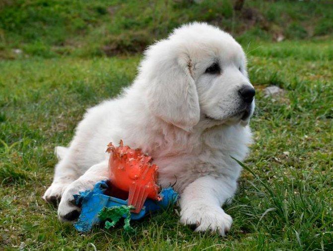 Подгалянская польская овчарка щенок