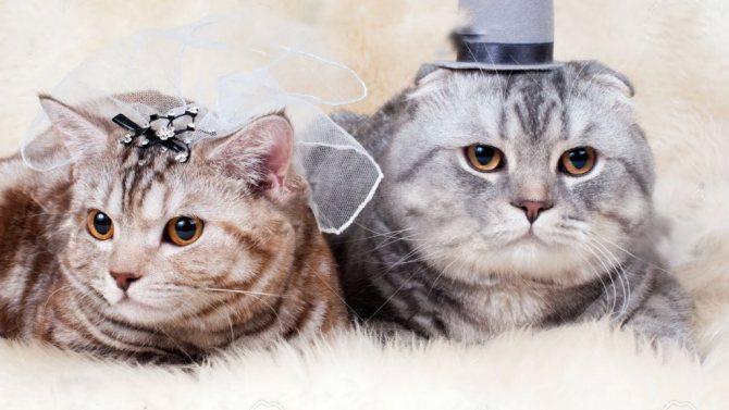 Подготовка к вязке котов и кошек