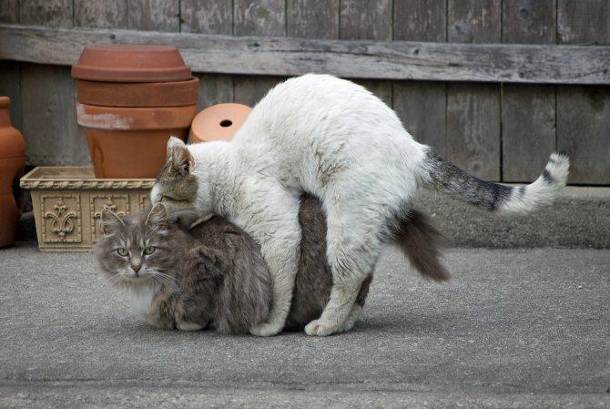 Подготовка самца к вязке с кошкой