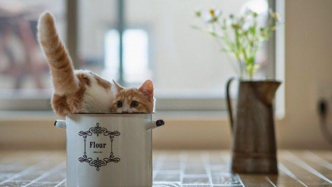 Подхватить клеща легко может и кот-домосед