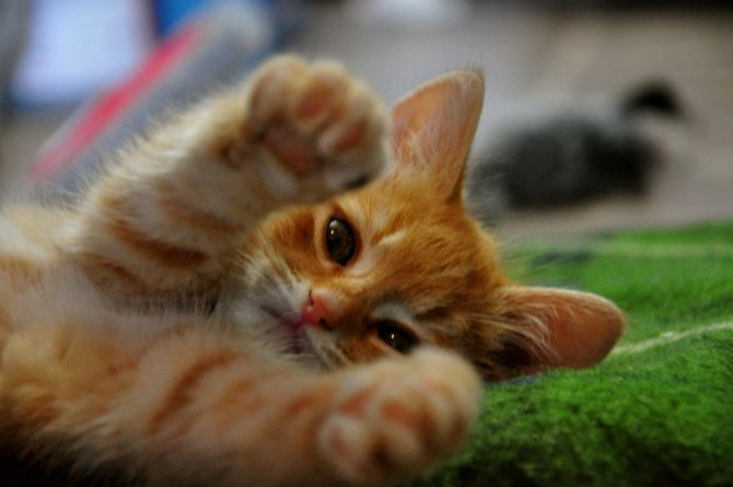 подрезка когтей котенку