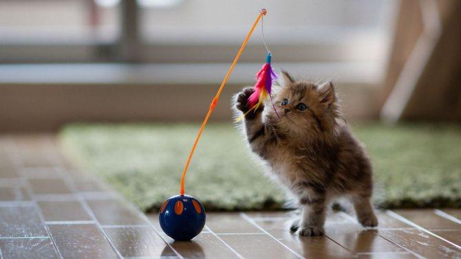 Подвижные развлечения развивают мышечный аппарат и координацию подрастающего котика