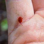 Поговорим об особенностях биологии и опасности для человека красных клещей (краснотелок)...