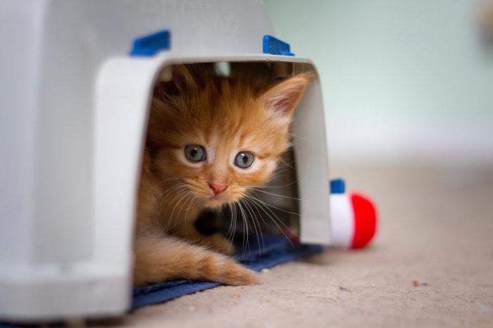 Поймать кота дома