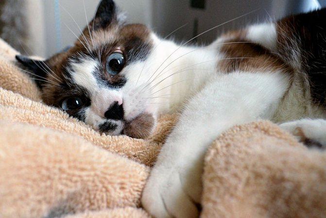 показания и противопоказания к стерилизации кошек