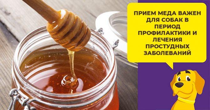 Полезен ли мед взрослым собакам и щенкам