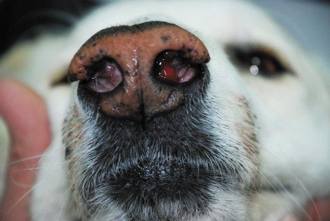 Полипы в носу у собаки