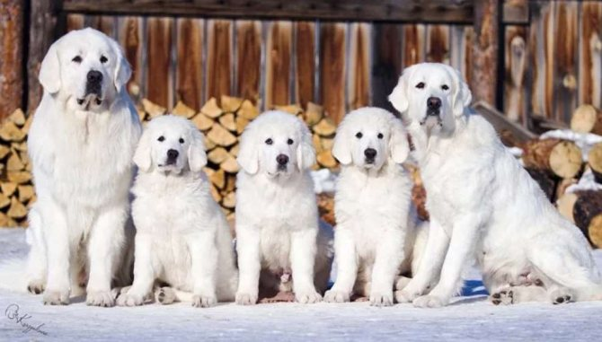 Польская подгалянская овчарка семья собак