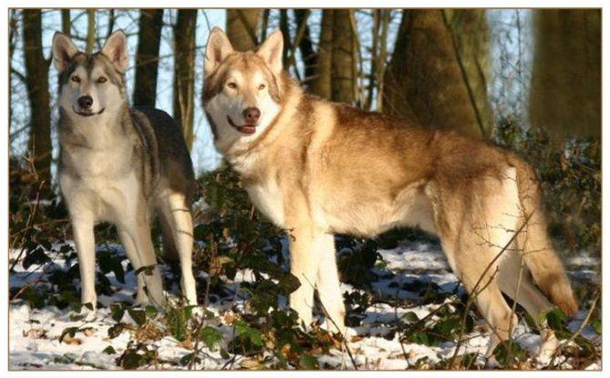 полудикие собаки Сарлоса
