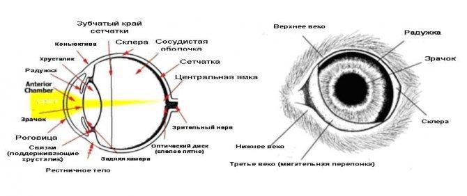 Полулунная складка является обязательной частью глаза, обеспечивая нормальную работу органа, фото https://zoosecrets.ru