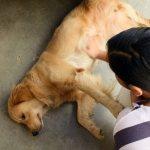 Помощь собаке при судорогах