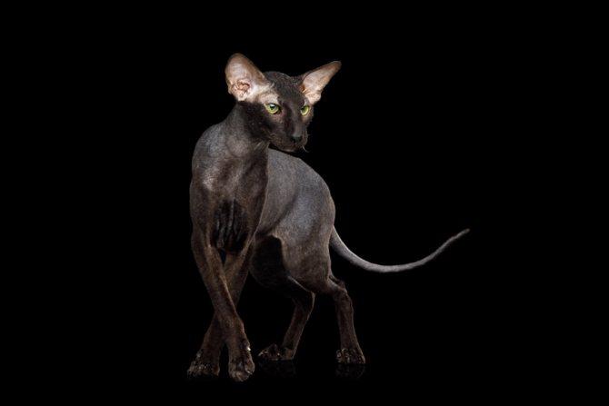 Порода черного кота с зелеными глазами