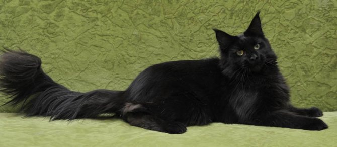 Порода чёрной кошки с зелёными глазами