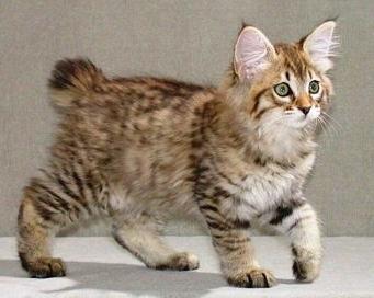 порода кошек без хвоста название