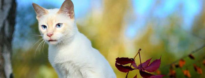 порода кошек меконгский бобтейл